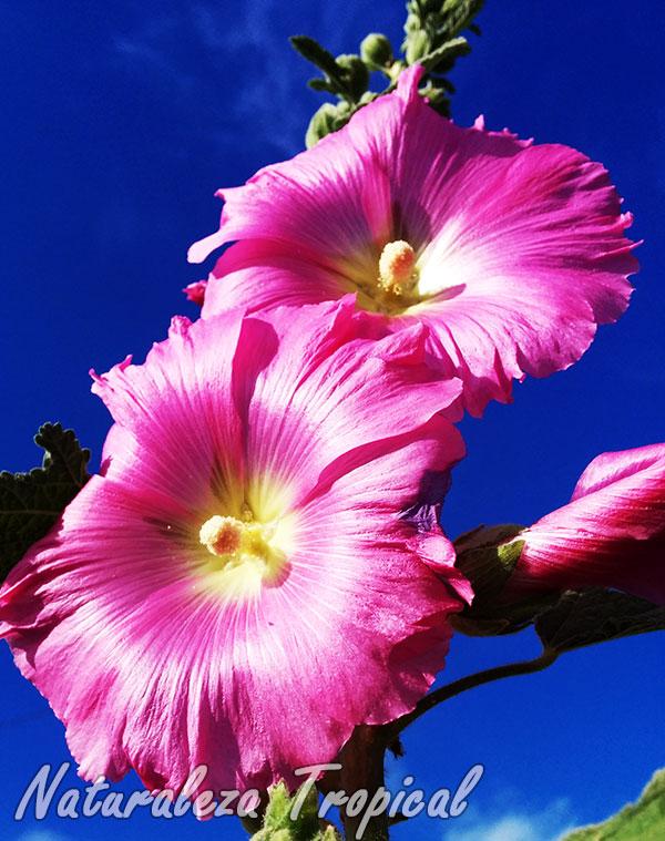 Flor de la Varita de San José, Alcea rosea
