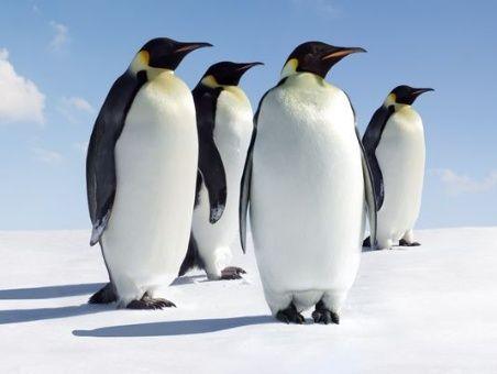 Pingüinos prehistóricos tenían el tamaño de un hombre