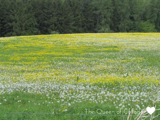 #MySundayPhoto - Field of Yellow and White