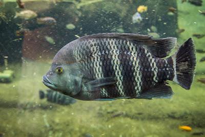 ikan ninenty nine dewasa