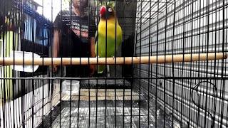 Mengumbar Melatih Anakan Lovebird Ngekek Panjang