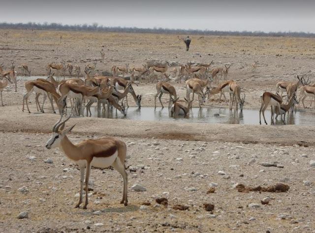 Gruppo di springboks in una pozza all'Etosha