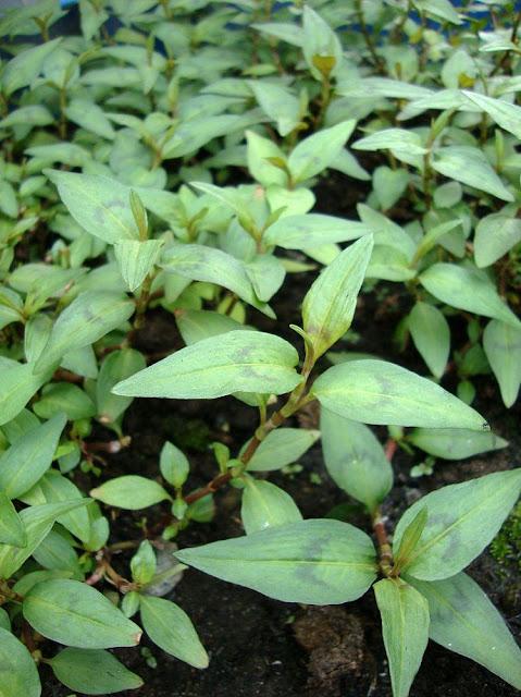 Rau Răm - Polygonum odoratum - Nguyên liệu làm thuốc Đắp vết thương Rắn Rết cắn