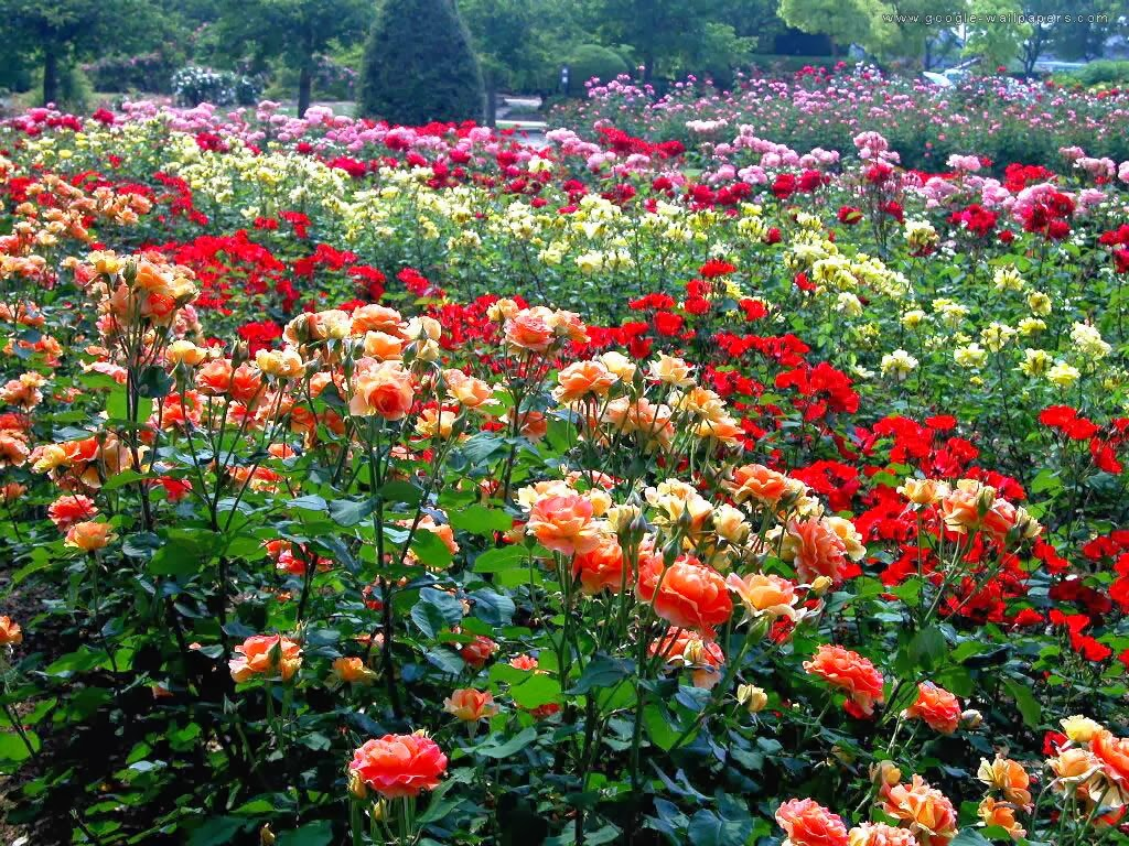 Sweet And Colorful Rose Garden High Resolution Pictures Are Ready Here To Check Red Pink Blue Yellow Color Wallpapers Of For Free