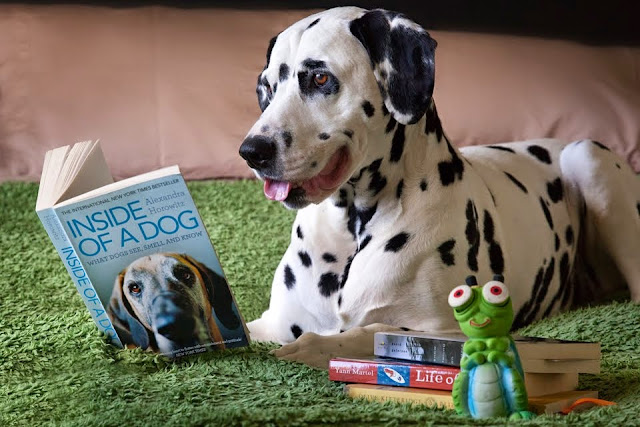 Dalmatian Dog Reading a Book About Dogs