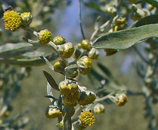 https://fr.wikipedia.org/wiki/Absinthe_(plante)