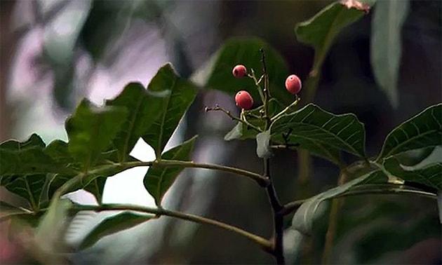 Aroeira (Schinus terebinthifolius, Schinus antarthritica, Schinus aroeira)