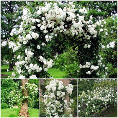 Bijela ruža penjačica, puzavica. Prodaja sadnica BiH