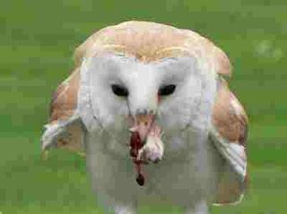 cara memelihara dan merawat barn owl