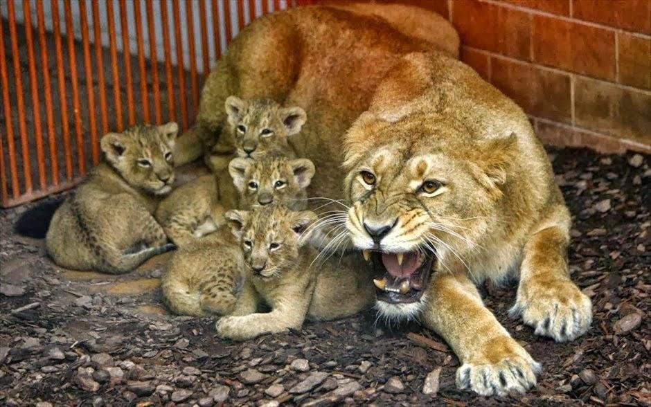 Προστασία νεογνών, σκύμνοι, επιβίωση, ένστικτο