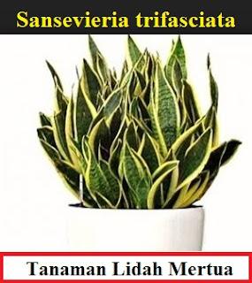 Lidah Mertua yang bahasa ilmiahnya Sansevieria trifasciata