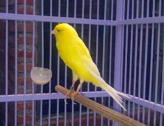 Harga Burung Kenari