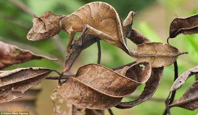 ialah homogen reptil yang termasuk ke dalam suku  Tips Usaha Sukses Seperti Bunglon