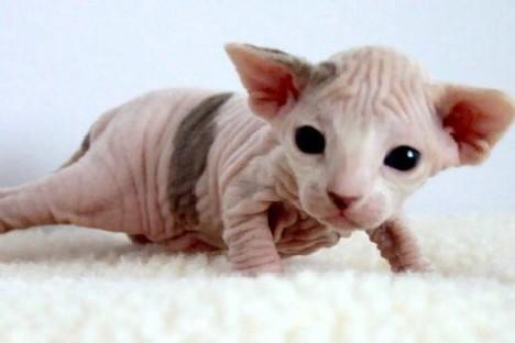 Sphynx cat   Fun Animals Wiki, Videos, Pictures, Stories