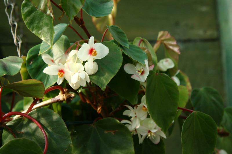 Begonia solananthera (Flickr - Bem Rushbrooke)