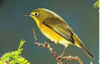 Kumpulan Mp3 Masteran Suara Burung Pleci Ngalas Gacor
