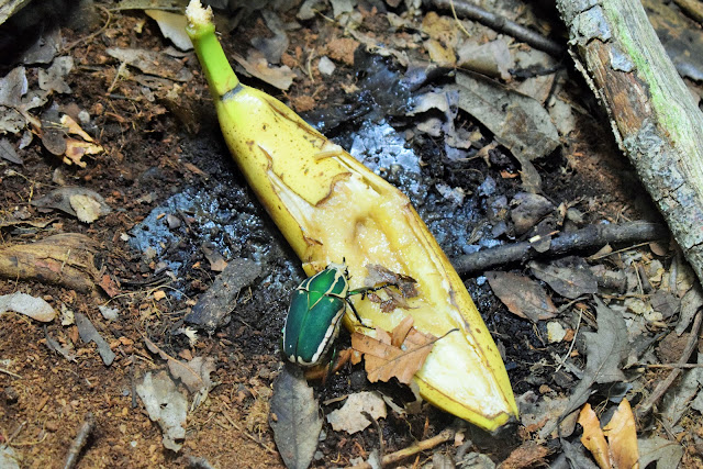A bright green bug munchin in a banana.