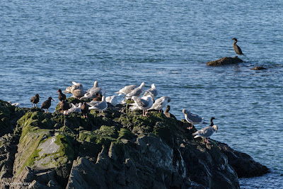 Gulls, Oystercatchers and Cormorants