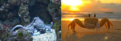 Mariscos. Crustáceo y cefalópodo. Un pulpo en el fondo del mar, entre las rocas, y un cangrejo en la arena de una playa, en la cual se ve el mar y la puesta de sol.