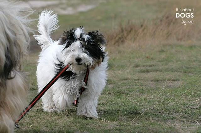 Tibet Terrier Chiru mit Biewer Yorkshire Terrier Lotta