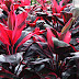 Cordyline fruticosa for Houseplant