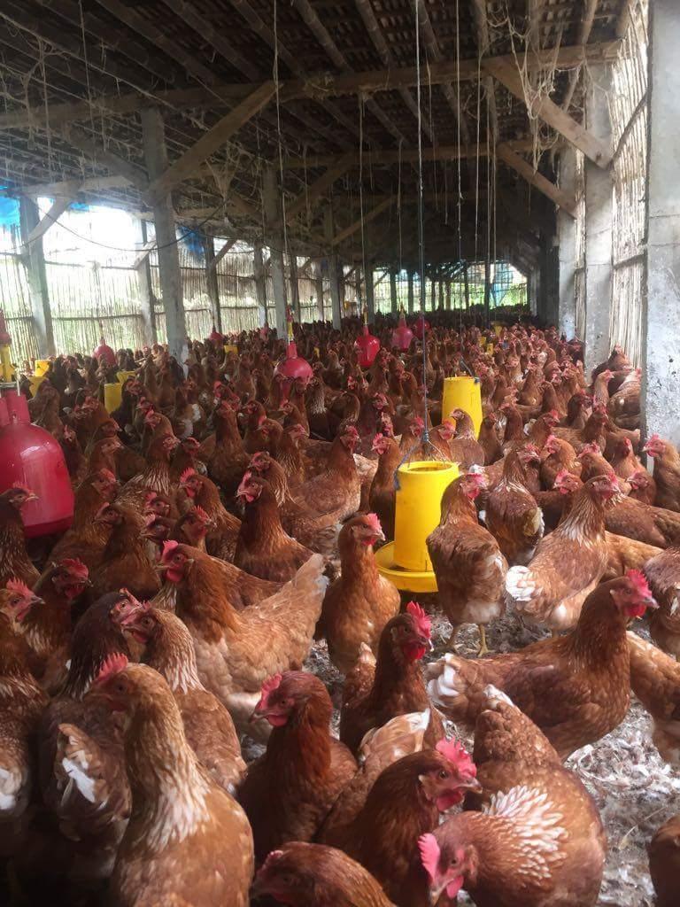 Vaksinasi Ayam Petelur Secara Benar Untuk Produktivitas Maksimal Vaksin Nd Ib 1000 Dosis Dalam Usaha Peternakan Unggas Masalah Penyakit Harus Selalu Diwaspadai Karena Akan Merugikan Peternak Keberadaan Dapat Menurunkan