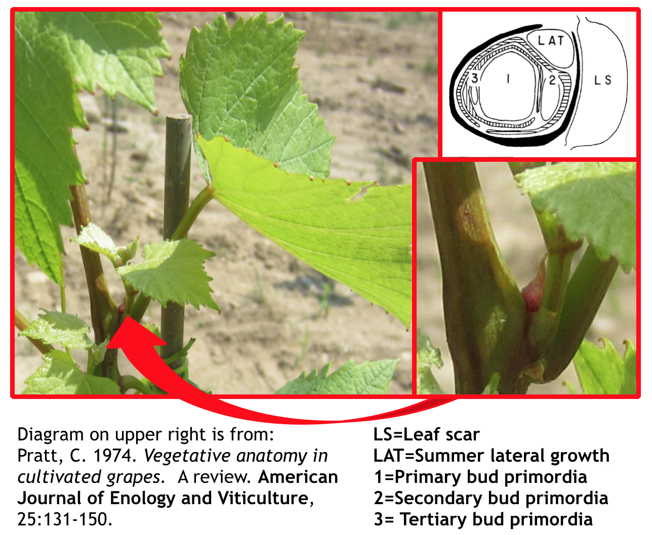EnoViti: Grapevine Inflorescence Formation---Parts 1 and 2