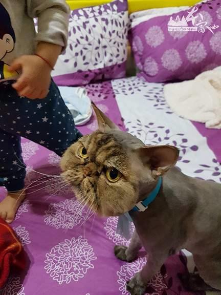 Cat Goes To The Groomer, And Comes Back Looking Like This….