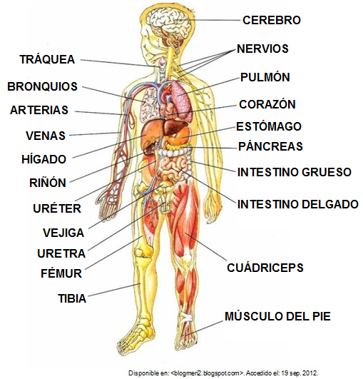 rganos internos del cuerpo  Educndose En Linea