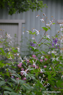 Perhoangervo, taustalla mm. varjoliljoja ja ukonkelloja