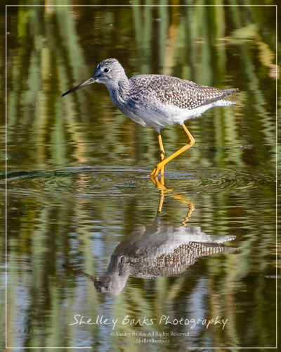 Greater Yellowlegs. Copyright © Shelley Banks, all rights reserved.