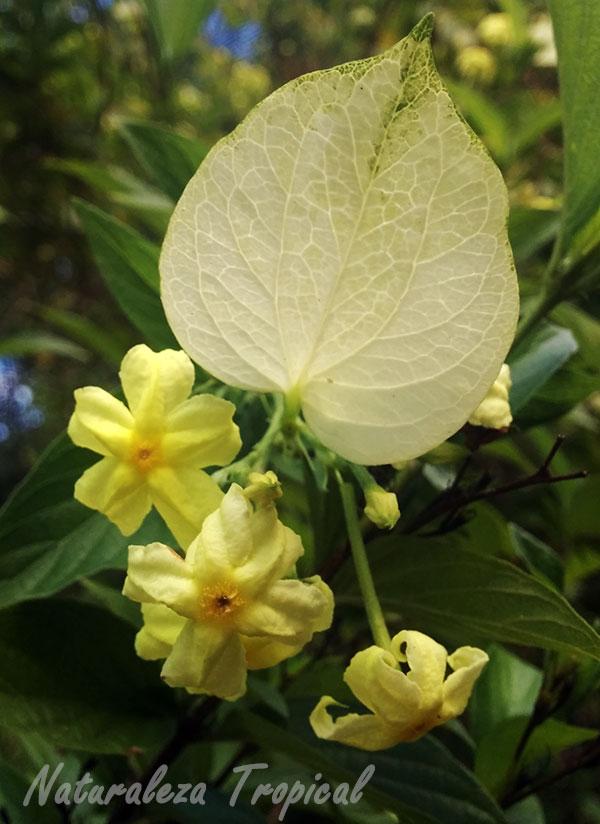 Flores y sépalos de Mussaenda frondosa