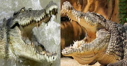 Compare Nile crocodile vs Salt water crocodile