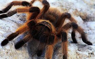 Spin achtergrond met grote Tarantula