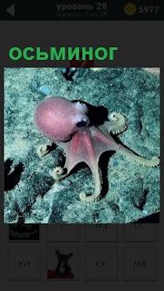 По морскому дну ползает осьминог розового цвета, а вокруг никого нет