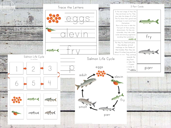 FREE Salmon Life Cycle Worksheets – Science Worksheets 3rd Grade