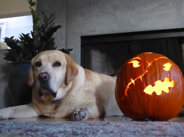 Labrador Cooper Halloween pumpkin