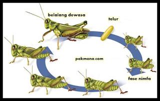 Urutan metamorfosis tidak sempurna pada belalang