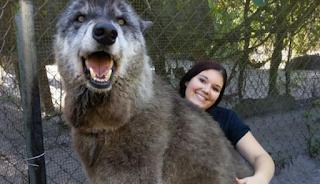 Κλέβει την παράσταση το γιγαντιαίο λυκόσκυλο που εγκαταλείφθηκε σε καταφύγιο λύκων