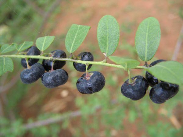 Quả Phèn Đen - Phyllanthus reticulatus - Nguyên liệu làm thuốc Đắp vết thương Rắn Rết cắn
