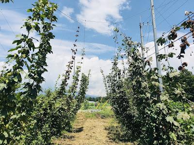 ホップ収穫体験してみた ~再訪・うちゅうブルーイング編 ホップ畑