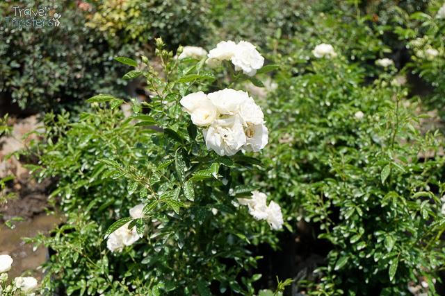 bahong rose garden