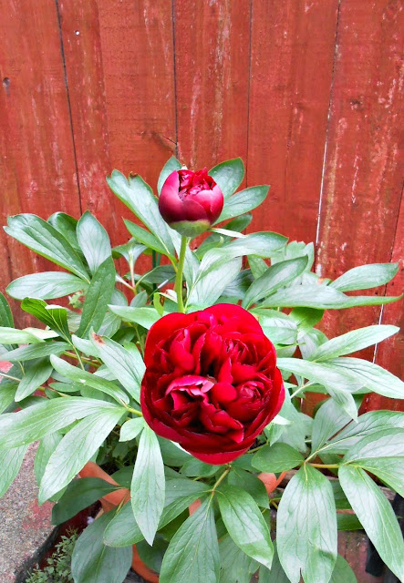 A week in the life of Peonies
