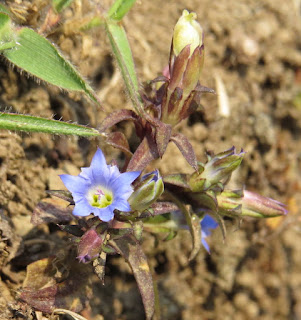 Gentiana species