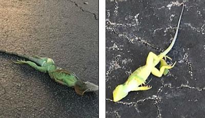 gambar iguana