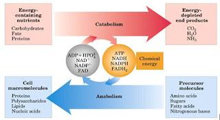 metabolismo tisular cura