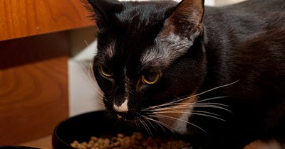 Spayed Cats And Eating Disorders