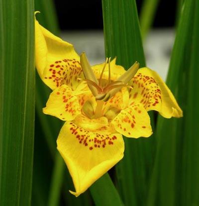 A flor-tigre (Tigridia pavonia) é uma planta bulbosa, pertence à família Iridaceae e tem origem no México.