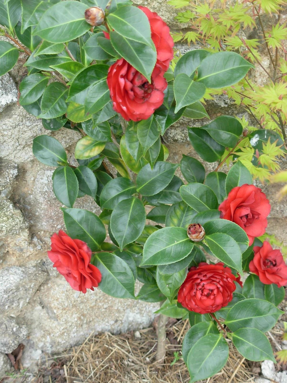 Camellia Japonica Roger Hall le jardin des douc'heures: camellia japonica 'roger hall'