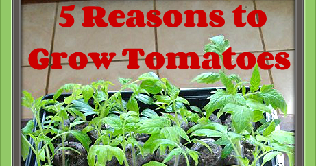 5 Reasons to Grow Tomatoes (Even if you don't like them!)